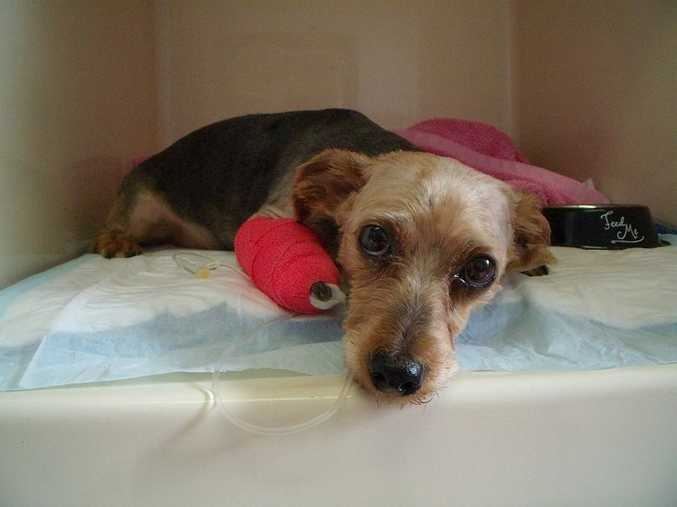 Jack the Yorkshire terrier cross being treated with brown snake antivenom at the Lismore Veterinary Clinic.