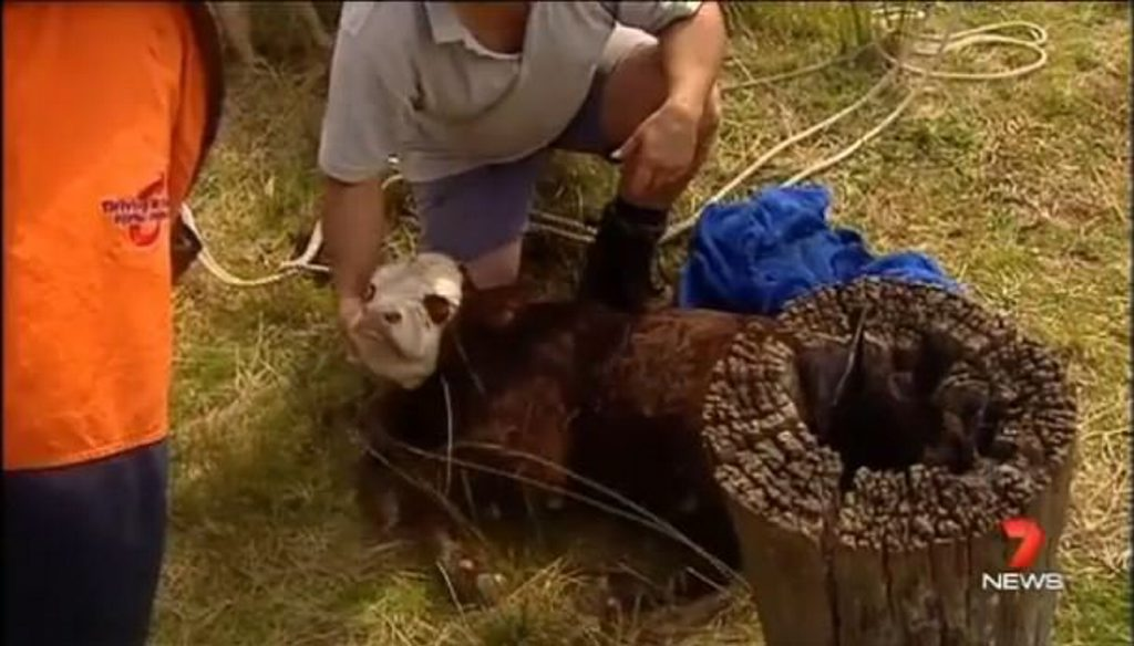Highfields Auxillary firefighters rescue Sampson the calf from a 10m well at a Geham property. Photo: 7 News Queensland