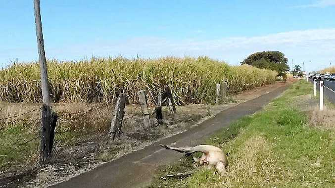 SAD END: Kangaroos are being hit by cars in suburban areas, including a male grey kangaroo on Elliott Heads Rd, outside Woongarra State School.