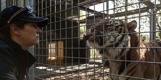 Sam Kudeweh with a male Sumatran tiger at Auckland Zoo. Photo / Doug Sherring