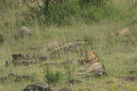 Pride of lions in Lake Nakuru National Park in Kenya, East Africa. Contributed photo: By Rae Wilson