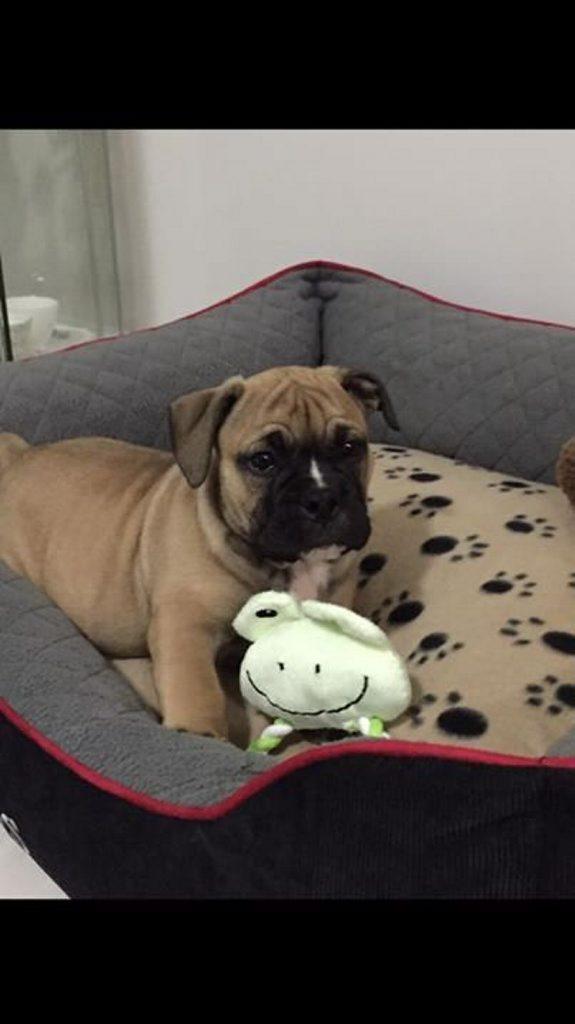Sharon Palmer: This is Harley. Gorgeous Aussie bulldog.