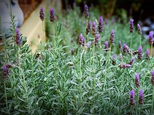 Lavender: an oldie but a goodie for your garden