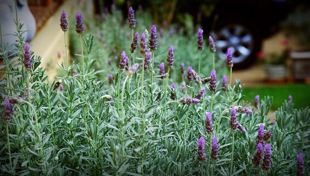 Sea lavender looks great when mass planted.