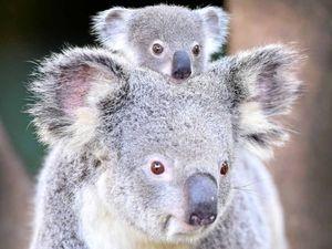 Help save city's koala population
