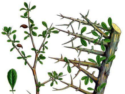 By Franz Eugen Köhler, Köhler's Medizinal-Pflanzen [Public domain], via Wikimedia Commons