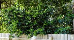 UNRULY: Gayle Thew looking on as the overgrown patch of bush behind her home continues creeping over the fence line.
