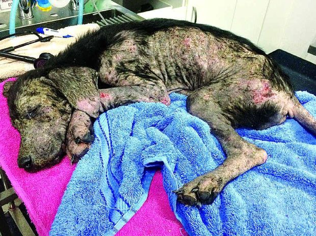 NEGLECT: Chaise was close to death when she was taken from her owners, Maryborough's Jeremy Hill and Kathleen Maslen. They were sentenced in Maryborough Magistrates Court earlier this year.