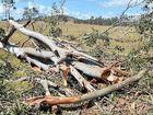 Gum trees blown down in the mini-tornado that cut a path through a narrow corridor of Scotchy Pocket Rd.