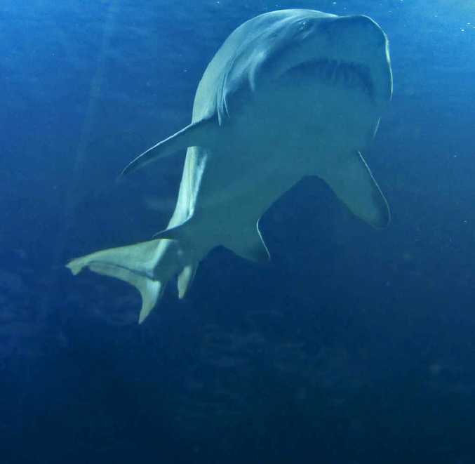 Public meeting on the shark issue to be held in Lennox Head