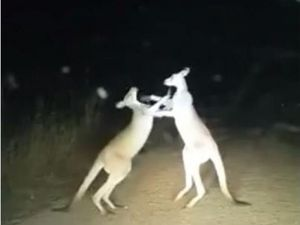 Watch: Teen's footage of boxing kangaroos goes viral