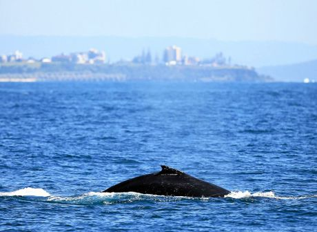 Humpback whales were a plenty as on the move past Point Danger Look out to travesrse the Tweed Coast line on a beautiful spring day.Photo: Scott Powick Daily NewsTWE011015whales