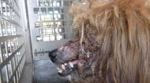 Authorities are shocked by the condition of this dog found in Toowoomba.
