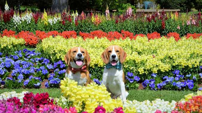 Toowoomba Beagle Club outing to Queens Park. Photo Contributed