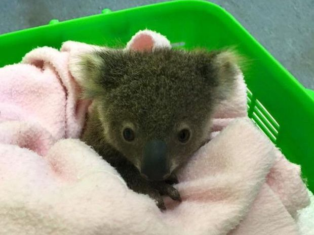 This baby koala was brought to Friends of the Koala today. Photo Contributed