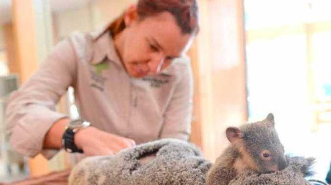 SACKED: Dr Jacqui Reed pictured treating a koala