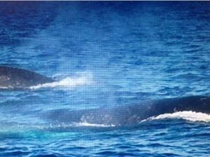 Humpback protects its calf from killer whale