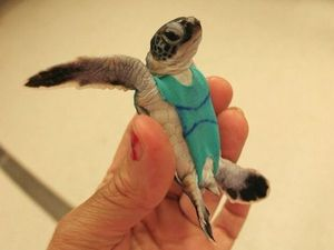 Sea turtles wear stylish swimsuits for science
