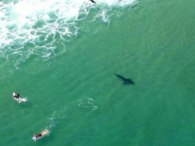 Rotorwing Helicopter Services spotted a 3m plus great white shark in close proximity to surfers off Boulder Beach in Ballina this morning and evacuated the water. Photo Contributed