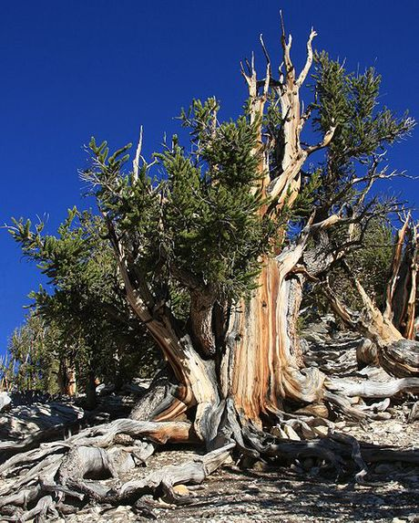 A tree nearby to and of the same species as the oldest tree in the world, which is hidden to protect it. By Dcrjsr (Own work) [CC BY-SA 3.0 (http://creativecommons.org/licenses/by-sa/3.0)], via Wikimedia Commons