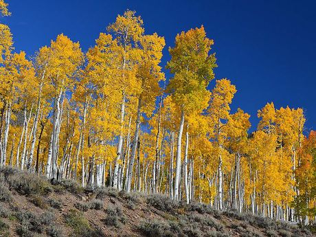 These are all just parts of the one big tree, joined underground. Fall photo of world's oldest organism, a grove of Quaking Aspens sharing one root system, from Fish Lake National Forest website. By J Zapell [Public domain], via Wikimedia Commons