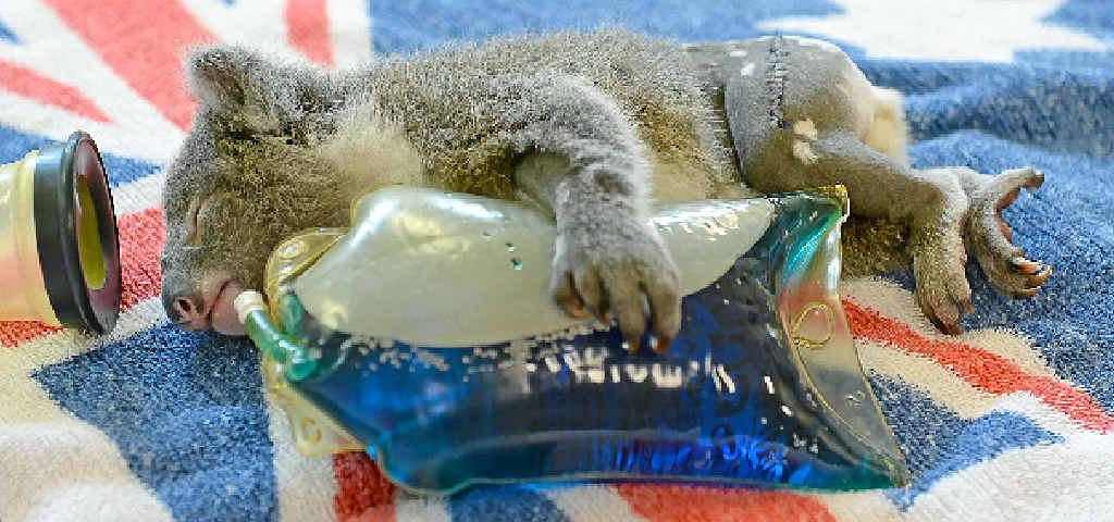 ORPHANED: Franky the koala after undergoing an operation at the Australia Zoo Wildlife Hospital.