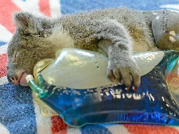ORPHANED: Franky the koala after undergoing an operation at the Australia Zoo Wildlife Hospital.