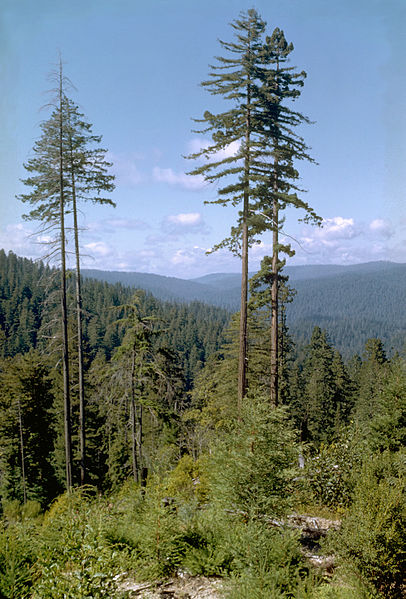 Coastal redwood forests with virgin groves of ancient trees, including the world's tallest, thrive in the foggy and temperate climate. Hyperion not pictured to hide its location. By National Park Service Digital Image Archives [Public domain], via Wikimedia Commons