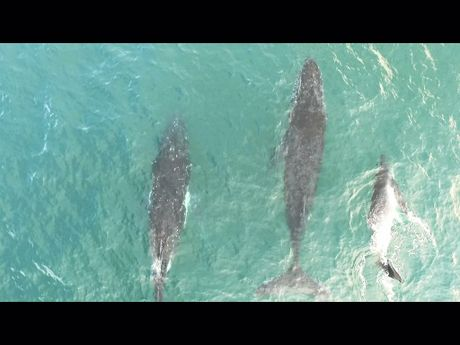 A drone captures whales and dolphins playing together near Point Danger.