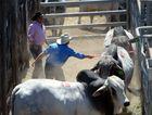 Stockman keep bulls settled at the CQLX Gracemere Rockhampton Brahman Week Cattle Sale. Photo: Chris Ison / The Morning Bulletin