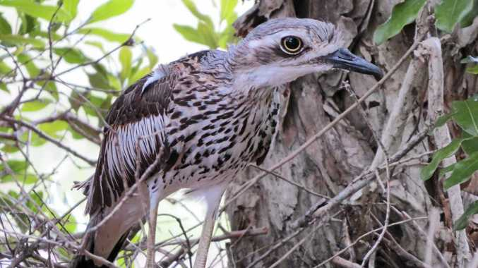 Tweed Shire Council had pleaded for motorists to use caution after two endangered bush stone-curlews were killed in the region in weeks.