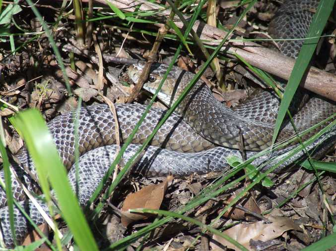 An eastern brown snake