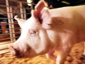 Prices remain solid at Pig and Calf Sale
