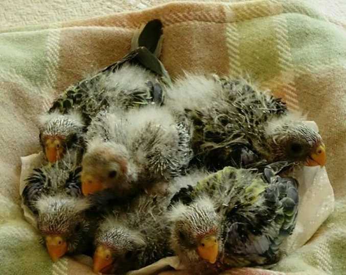 The Eastern Rosella chicks that were saved by an excavation worker - photo from WIRES Northern Rivers. Photo Contributed