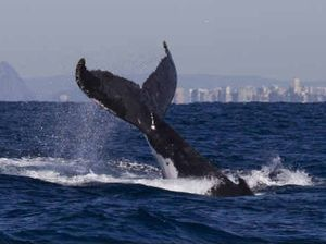 Research shows whales can be just like boys in a bar