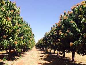 Research key to growing mangoes