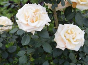 Green-thumbed thieves take liking to roses