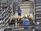 Grafton cattle prices fall