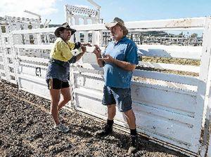 Bucking bulls to buck the Whitsunday blues