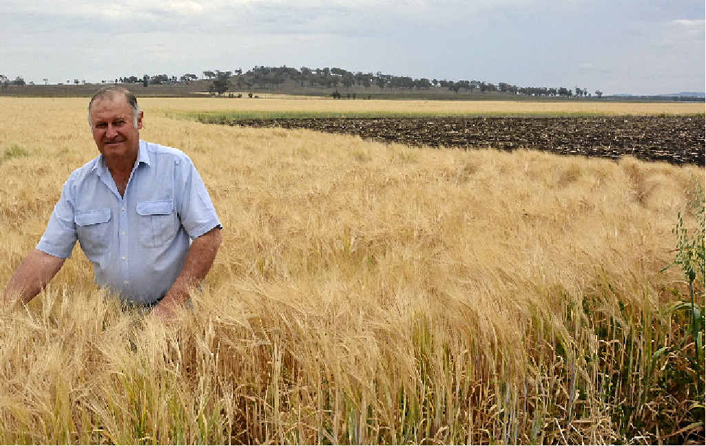 PRAYING FOR RAIN: Trevor Nielsen checks his barley crop. He is worried about the lack of rain on the Darling Downs.