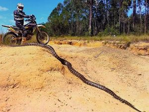 Wowsers! Whopping huge snake found on Coast