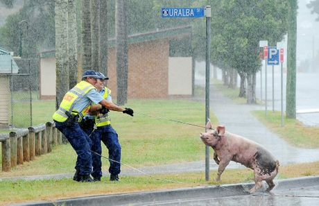 Sn Const Peter Richardson and Const Amanda Vidler battle the elements and a pig that was grazing on a roundabout in Lismore on Australia Day. Jacklyn Wagner
