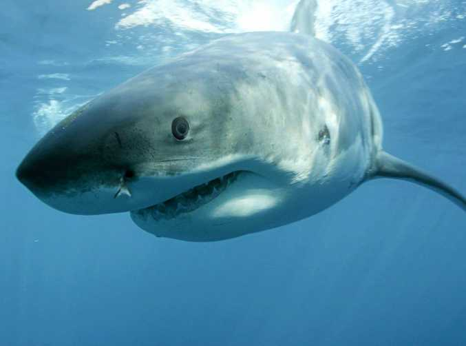 Great white sharks can now be tracked online.