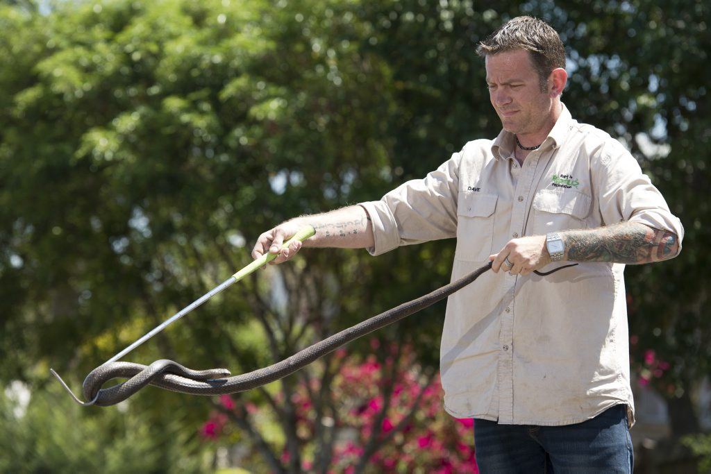 Dave Wiedman of Rapt in Reptiles with an male eastern brown snake he relocated from a Preston property.