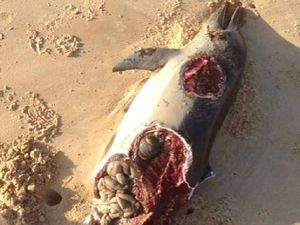 Dolphin's shark-eaten remains shock beach walkers