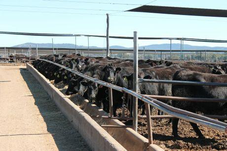 Wagyu cattle at Maydan Feedlot Photo Jeremy Sollars/Warwick Daily News
