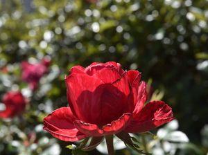 Tea & Tours at Rose Garden