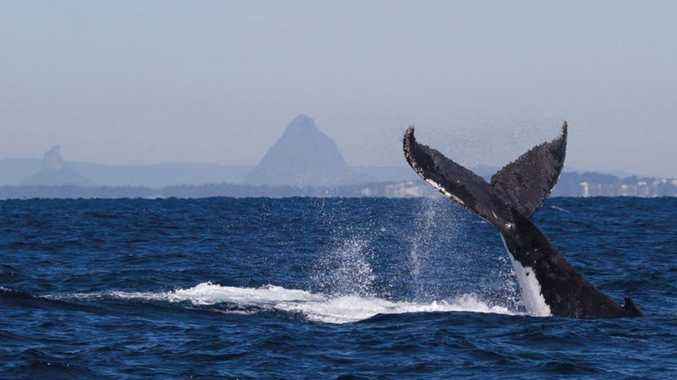 The last of the humpback whales are making their journey south for the season.