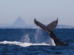 Whale of a season for Mooloolaba dive operator