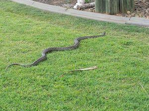 Snakes in Avoca